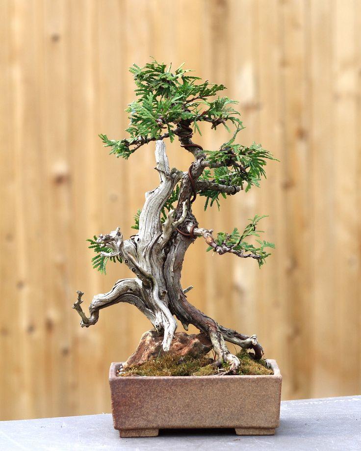 Sally's cypress bonsai | Flickr - Photo Sharing!