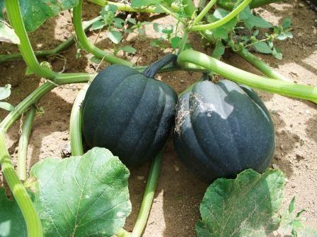62 Best Garden Cucumbers Squash Zucchini 400 x 300