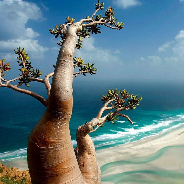 Socotran desert rose (Adenium Obesium sokotranum) above qalansiyah lagoon [Jean Robert]