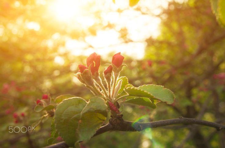 "Spring Garden - Flowering in Spring Garden in Golden Sun Rays. From ""Blossom"" photo collection."