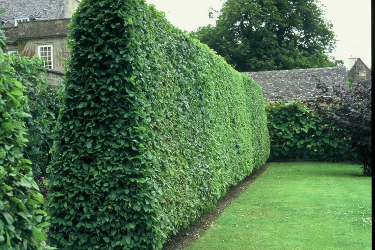 Privet Ligustrum Vulgare 20 Extra Seeds Fast Growing Hedge Plant Backyard Escape Pinterest