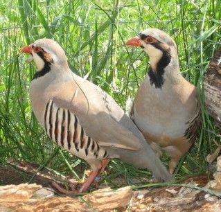 Pet Chukar Partridges. No pear tree.