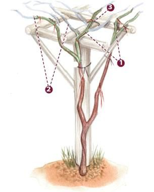 How to train and prune grapes to grow on an arbor