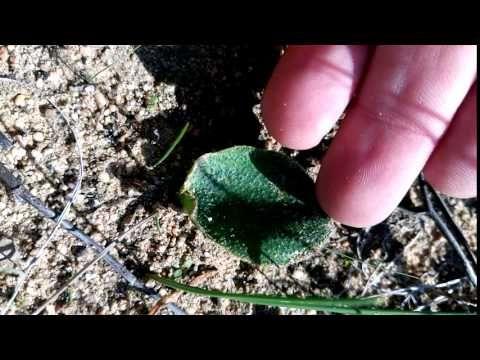 Eriospermum ornithogaloides - YouTube