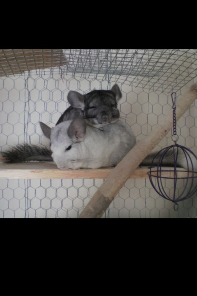 Chinchillas in their cage