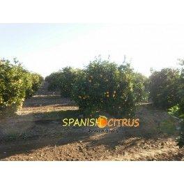Comprar Naranjas Online | Naranja Navelina | Naranjas De Mesa. Naranjas naturales navelina de mesa de alta calidad, directa del árbol a su domicilio.