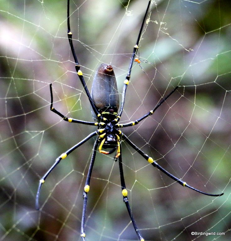 Orb- Weaver Spider at Cairns, Australia. At the size of a large man's hand it is not the sort of spider to run into at night.