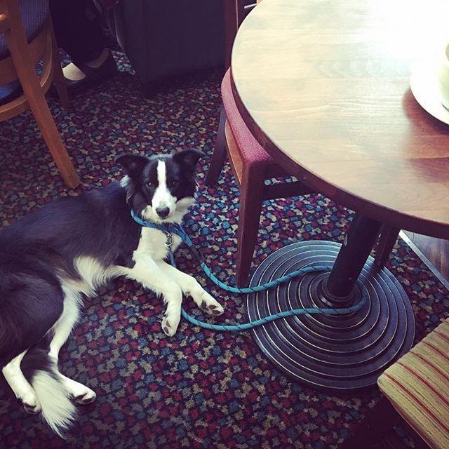 Kavárenský povaleč #bordercollie #ellie @costacoffeecz #dog #chill #coffee #relax #meeting