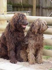 brown labradoodles
