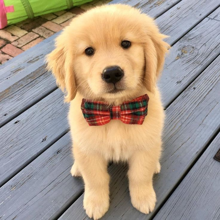 Cute Puppy Wearing A Tie Cutepuppies Cutedog Puppies With