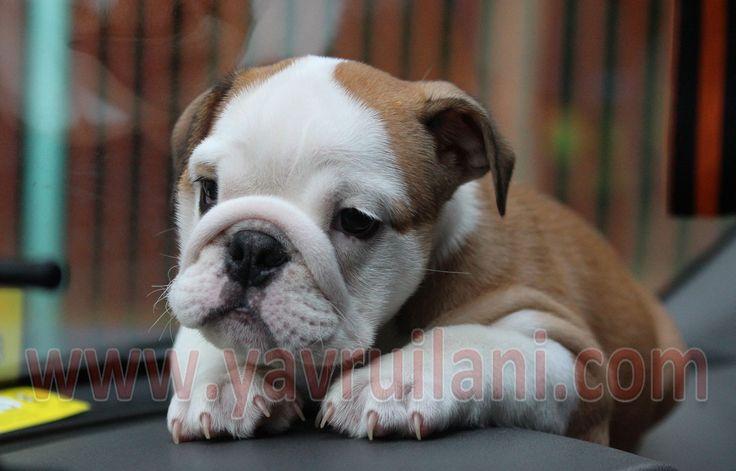 http://www.satilikyavruilani.com/2015/02/satilik-ingiliz-bulldog-yavrulari.html Satılık İngiliz Bulldog Yavru