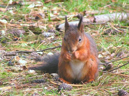 :) The British Squirrel! Red not grey like the American One