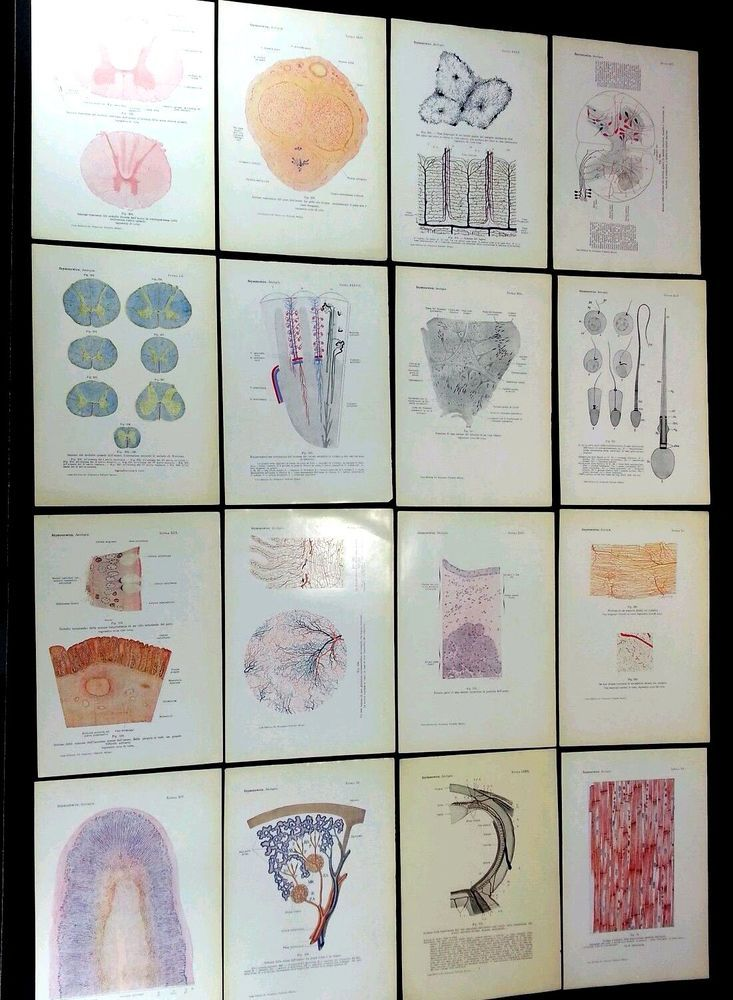 "Complete set of 83 plates. Very minor toning to the prints. NEW acid free, archival sleeves. NEW three ring binder<br/><br/>""Contemporary Medical Library and Treaty of Histology and Microscopic Anatomy, with Special Consideration of the Human Body including Microscopic Techniques and 83 Tables mostly in Color"". (Complete Set of 83) Italian Microscopic Anatomy Plates: ""Istologia e Anatomia Microscopica"" - &amp..."