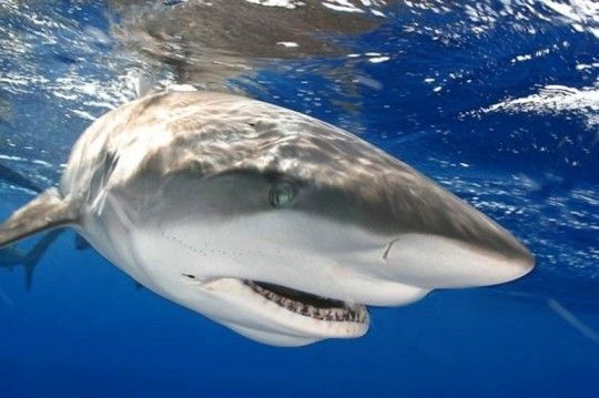 Top Adventure Activities Around the World: Swimming with sharks http://travelblog.viator.com/top-adventure-activities-around-the-world/ #travel