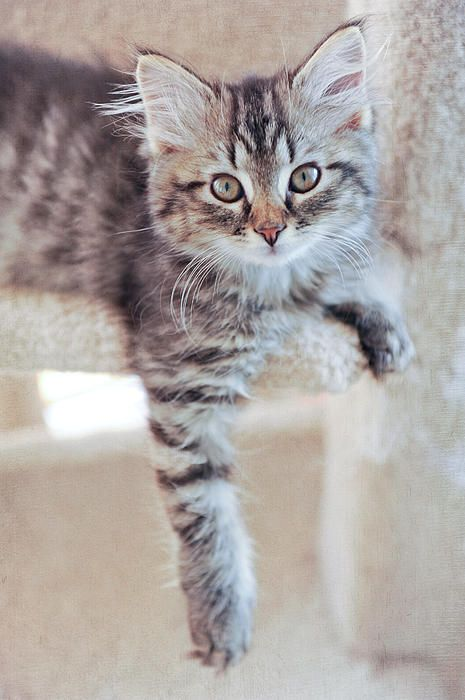 42 Best Images About Adorable Tabby Kittens Photography On