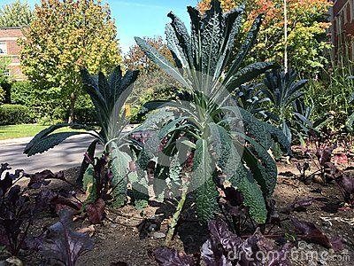 Kale growing in fall garden.