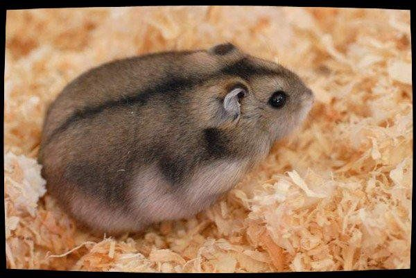 Petits Mammifères, Hamsters : Hamster Russe
