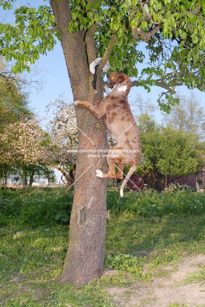 catahoula leopard dog | Animal Photography | Catahoula leopard dog climbing tree to retrieve ...