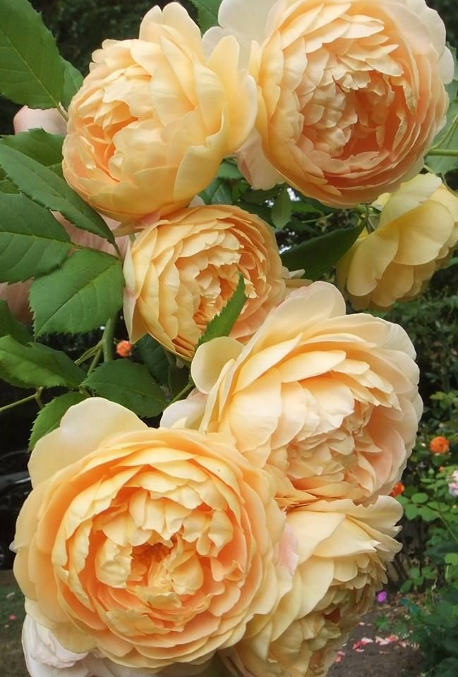 David Austin roses, Golden Celebration. (These are my friends roses in bloom right now, We belong to a David Austin lovers group , Anita B )