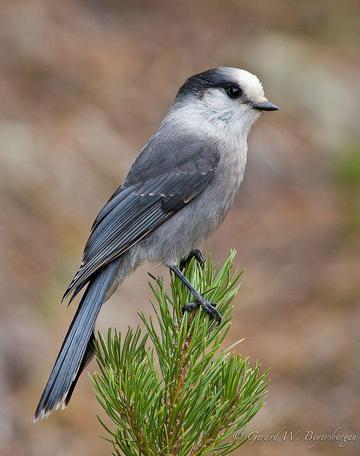 Gray jay (Perisoreus canadensis), also grey jay, Canada jay or whiskey jack, by Turk Images