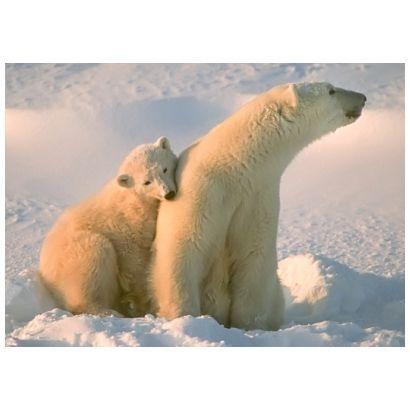 Polar Bears #postcards
