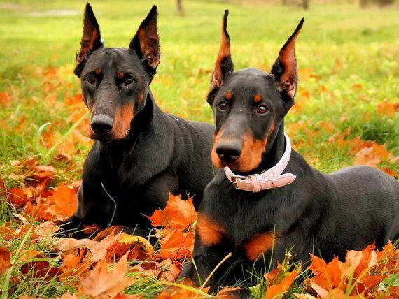 Two dobermans in fall