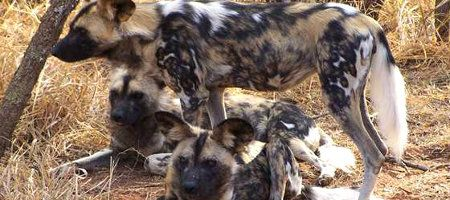 Wild dogs in Madikwe Game Reserve