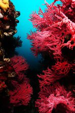 바닷속 벚꽃축제. 오페라 색이 맘에 들었다. 카메라 빛을 비추었을 때 까맣던 바다세계가 오색찬란하게 펼쳐지는 것 같다. 이 아름다운 세계를 발견하기 위해선 지속적인 우리의 노력이 필요할 것이다.