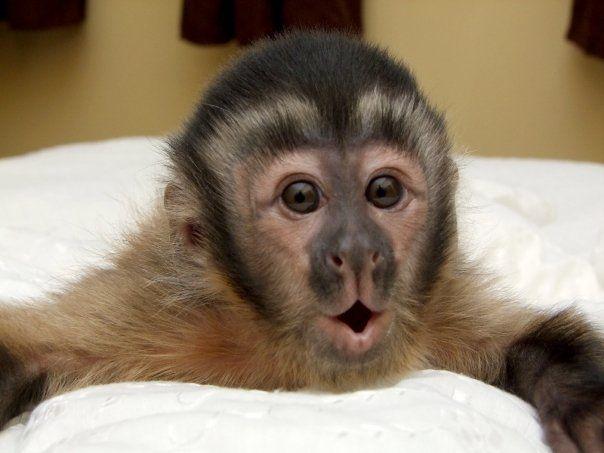 best 25 capuchin monkey pet ideas on pinterest capuchin