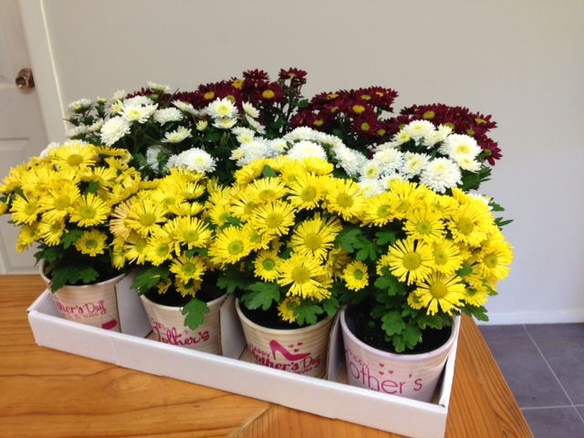 """Looking FANTASTIC our range of Mothers Day ceramics with flowering chrysanthemums! Chrysanthemums are perfect for Mothers day in Australia not only are they naturally in flower at this time of year! this traditional Mothers Day flower also contains the word """"mum""""  so let love grow this Mothers day 2015 with Summerhill Chrysanthemums!  www.summerhillnurseries.com.au"""
