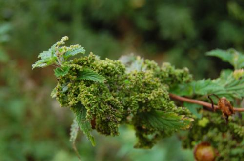 'Nettle seeds are adaptogens. They help with the general stress response, they strengthen the adrenals, and they're loaded with minerals and trace elements'.