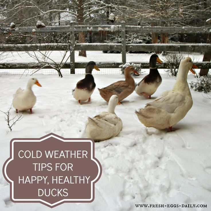 Fresh Eggs Daily®: Cold Weather Tips for Winter Duck Care
