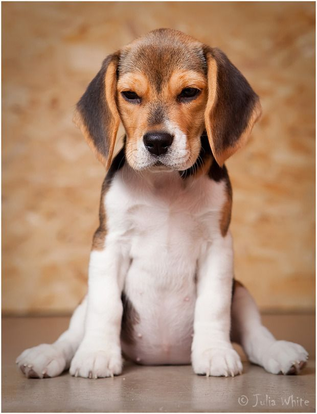 The Beagle... I'm in Love!!
