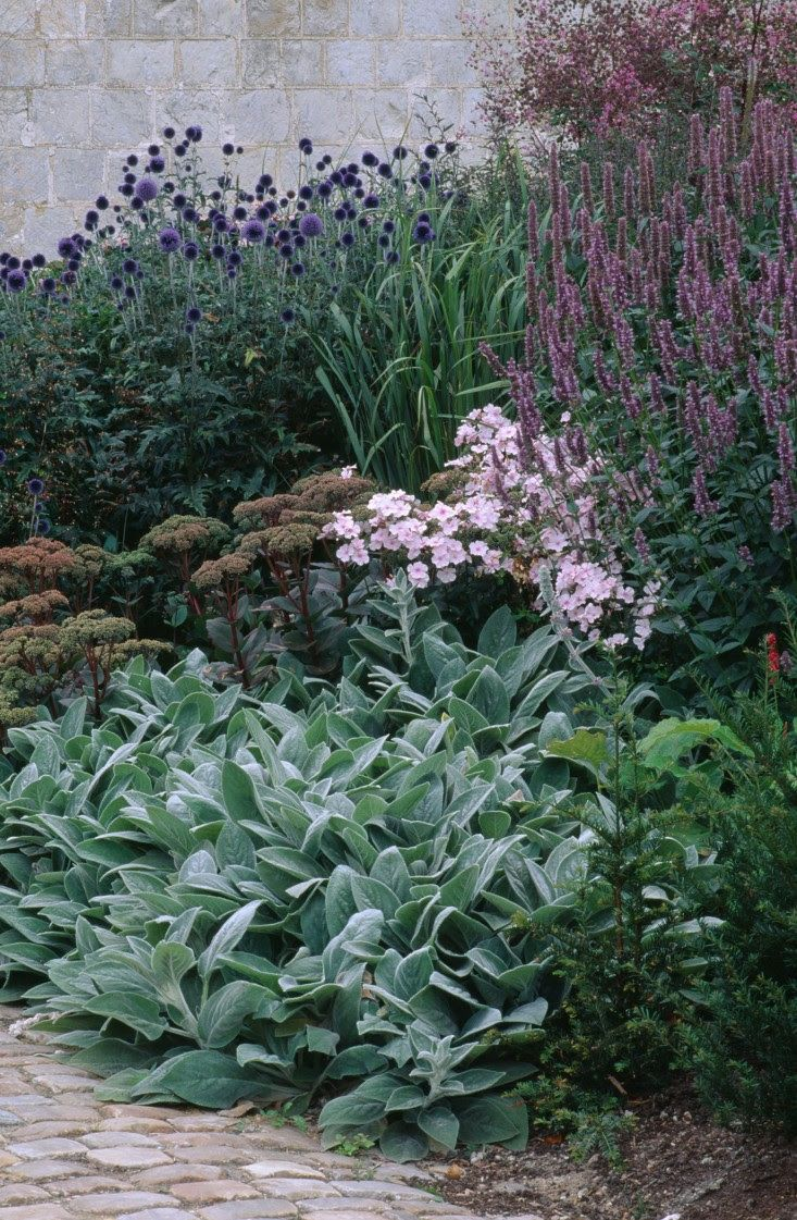 A planting of silvery Stachys 'Big Ears', the dark Sedum 'Matrona', phlox 'Rosa Pastell', with Echinops ritro 'Veitch's Blue' to the rear (Left) and Agastache foeniculum (Right).