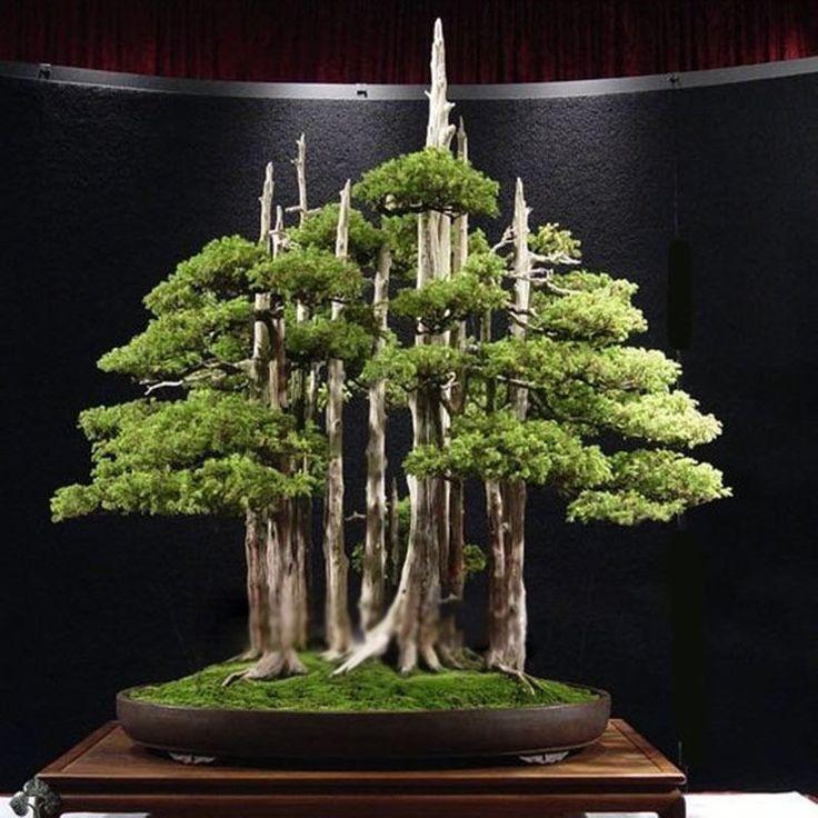 20pcs Japanese White Pine Pinus Parviflora Green Plants Tree Bonsai Seeds Decor…