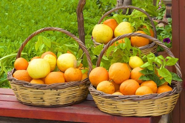 Basket with oranges in Crete
