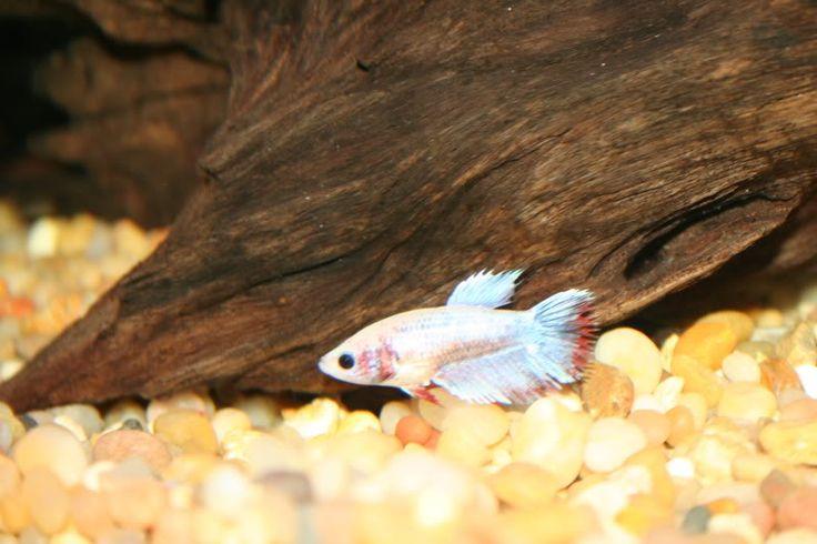 Female crowntail betta betta splendens pinterest for Betta fish care water