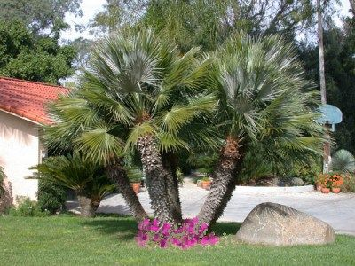 Types Of Palm Trees | ... Fan Palm, Palm Trees, Growing Palm, Tree Types, Palm Tree Picture