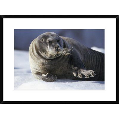 Global Gallery 'Bearded Seal Resting on Ice Floe, Svalbard, Norwegian Arctic' Framed Photographic Print Size: