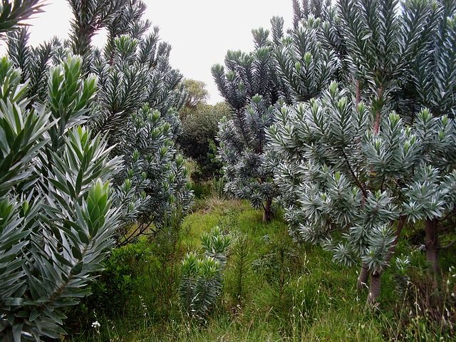 Silverleaf trees, Cape Town - an endangered species, these grow nowhere else in the world.