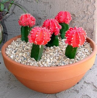 Moon Cactus Need This For The Patio Use 2 Diffe Color And Pretty Pot Like Blue Landscaping Pinterest Plants