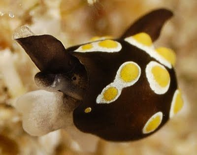 """Este pequeño individuo es conocido como un huevo Sea Slug Fried ( Colpodaspis thompsoni ) y yo apuesto a que puedo adivinar por qué! Su forma de burbuja cáscara está completamente oculto por su manto (el cuerpo), que cuenta con decenas de pequeños """"huevos"""" pulcramente dispuestas a lo largo de su longitud. Aunque, su longitud no es mucho que hablar, ya que estos sluggies sólo alcanzan entre 3 y 5 mm."""