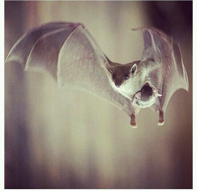 Mom carrying her baby bat :3