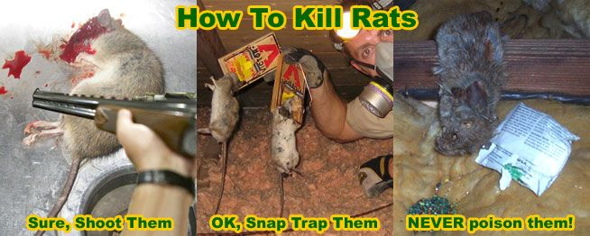 Pin On Killing Rats
