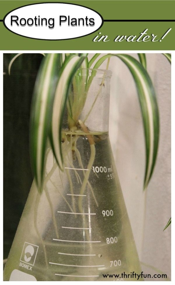 This is a guide about rooting plants in water. Rooting your new plant cutting in water is a very effective method. Depending on your choice of container it can also be interesting to watch the roots develop.