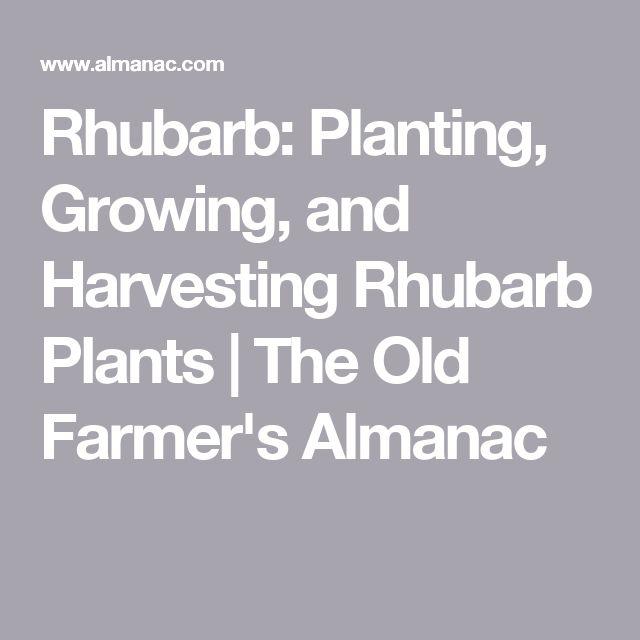 Rhubarb: Planting, Growing, and Harvesting Rhubarb Plants | The Old Farmer's Almanac