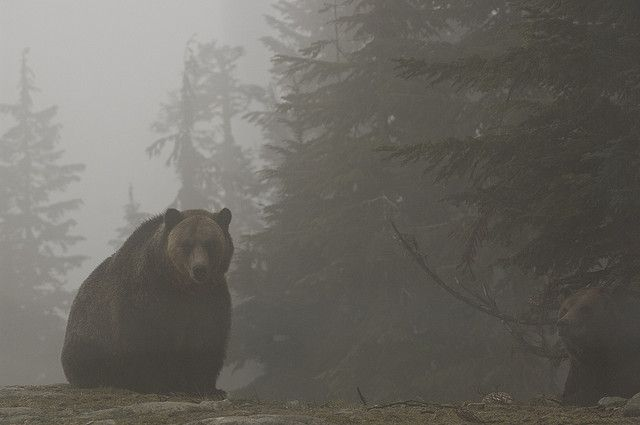 Grizzlies on Grouse Mountain by Jason Hightower, via Flickr