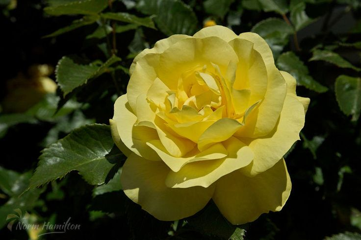 https://flic.kr/p/H43cui | yellow_rose2839_web | Unblemished Yellow Rose  This yellow rose glows in unblemished perfection.