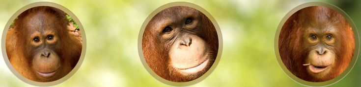Vimeo dan Orangutan - TemuKonco