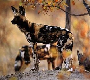 "Lycaon pictus is a canine found only in Africa, especially in savannas and lightly wooded areas. It is more commonly known as the AFRICAN WILD DOG - It's Latin name translates to ""Painted Wolf"" referring to the irregular, mottled coat, which features patches of red, black, brown, white, and yellow fur. Each animal has its own unique coat pattern, and all have big, rounded ears."